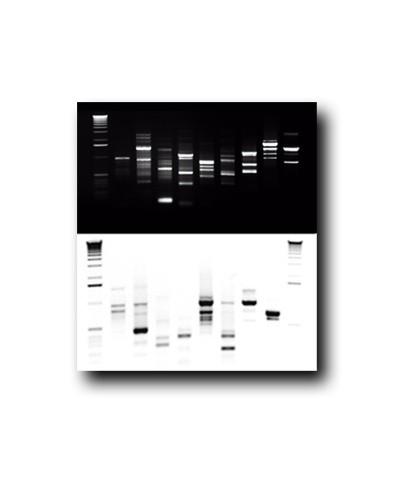 Tableau ADN