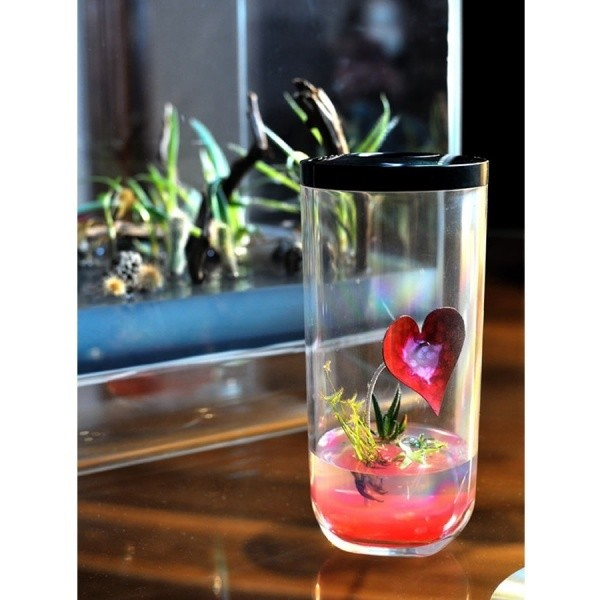 Plante miniature Saint Valentin